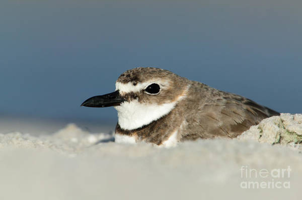 Photograph - Wilson's Plover Nesting by Clarence Holmes