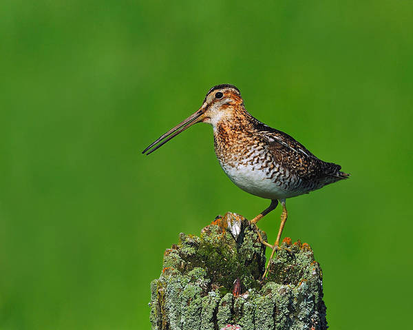 Photograph - Wilson's Snipe by Tony Beck