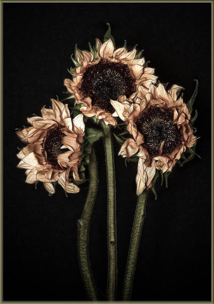 Photograph - Wilted Sunflowers by Steve Zimic