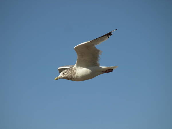 Photograph - Windy Gull - 2 by Jeffrey Peterson