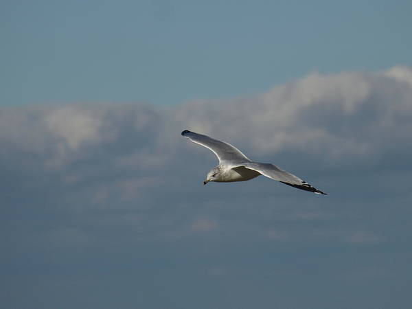 Photograph - Windy Gull - 3 by Jeffrey Peterson
