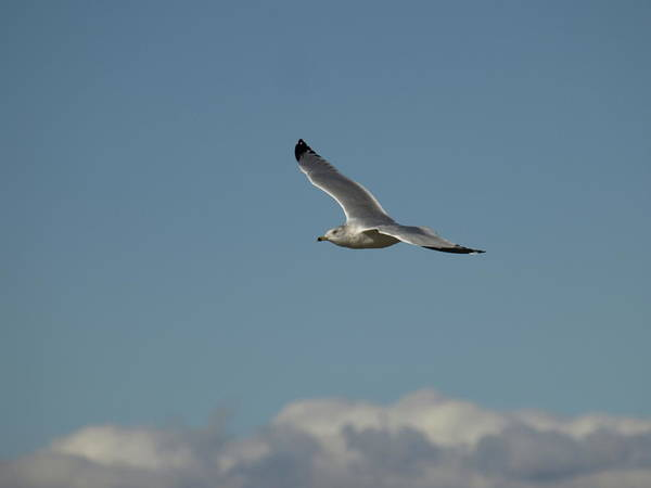 Photograph - Windy Gull - 4 by Jeffrey Peterson