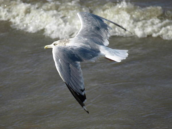 Photograph - Windy Gull - 7 by Jeffrey Peterson