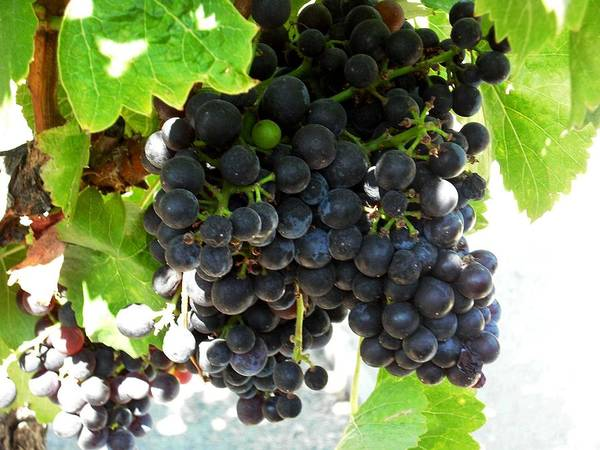 Photograph - Wine Grapes At Kendall Jackson Wine Estates by Kelly Manning
