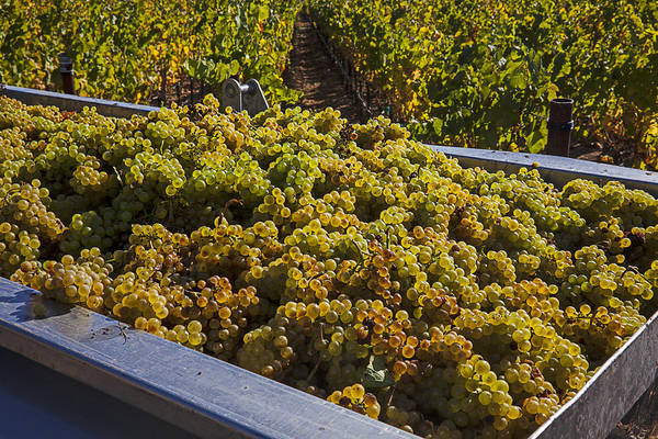 Grape Leaves Photograph - Wine Harvest by Garry Gay