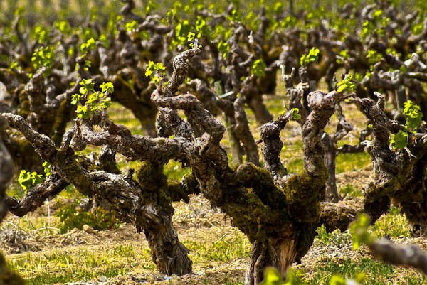 Photograph - Wine On The Vine by Colleen Coccia