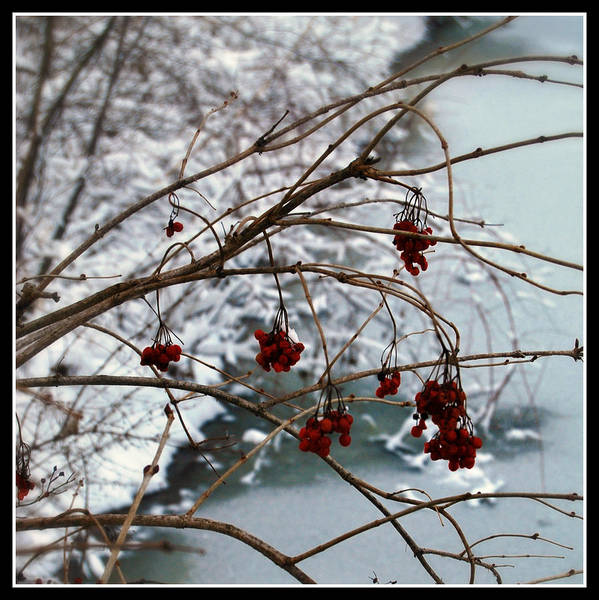 Photograph - Winter Berries by Lora Mercado