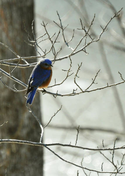 Photograph - Winter Bluebird by Rebecca Sherman