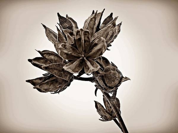 Photograph - Winter Dormant Rose Of Sharon - S by David Dehner