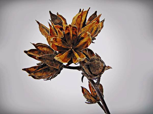 Winter Dormant Rose Of Sharon Art Print
