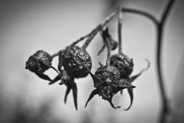 Photograph - Winter Rose by Priya Ghose