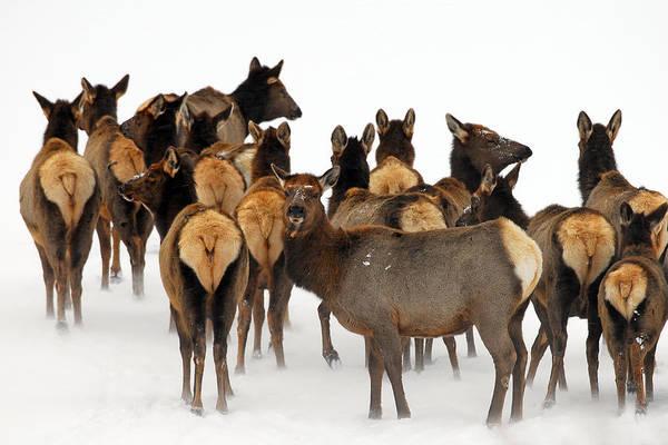 Elk Herd Photograph - Winter Winds by Sandy Sisti