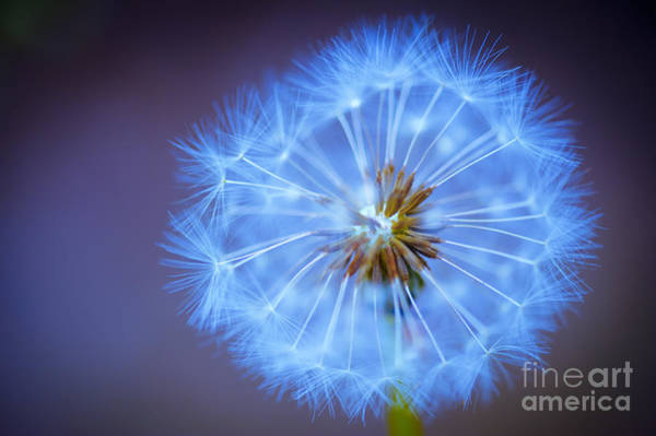 Wall Art - Photograph - Wishes Dandelion Blue by Donald Davis