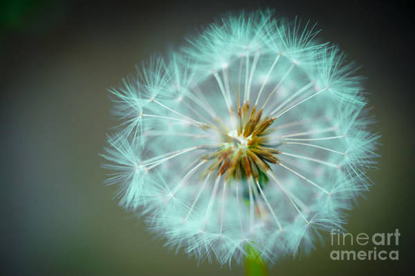 Wall Art - Photograph - Wishes Dandelion Green by Donald Davis