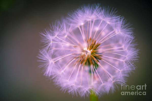 Wall Art - Photograph - Wishes Dandelion Pink by Donald Davis