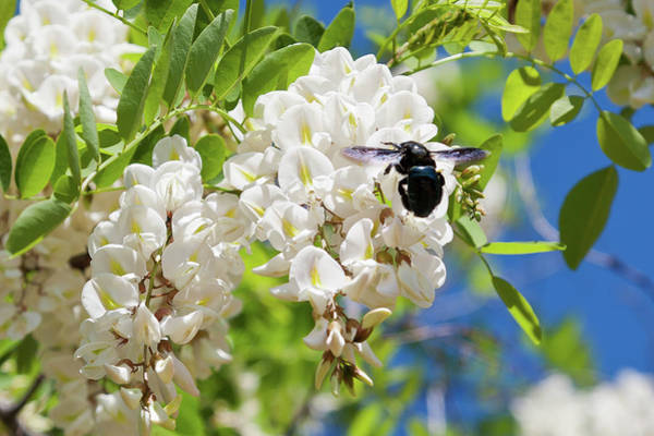 Photograph - Wisteria With June Bug by Peter Dyke