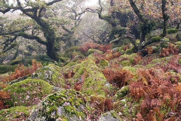 Liverwort Photograph - Wistman's Wood, Dartmoor by Adrian Bicker