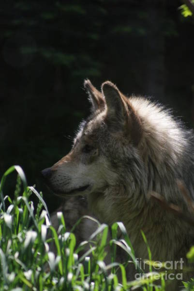 Were Wolf Wall Art - Photograph - Wolf In Waiting by Jack Norton