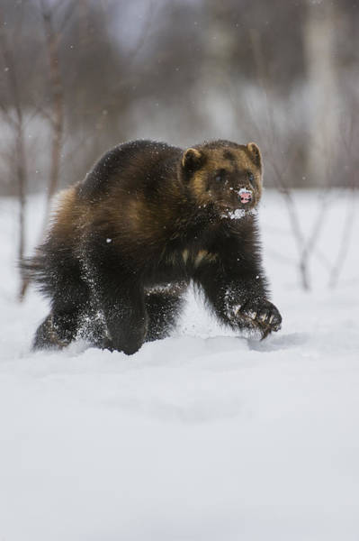 Photograph - Wolverine In Snow, Norway by Roger Eritja