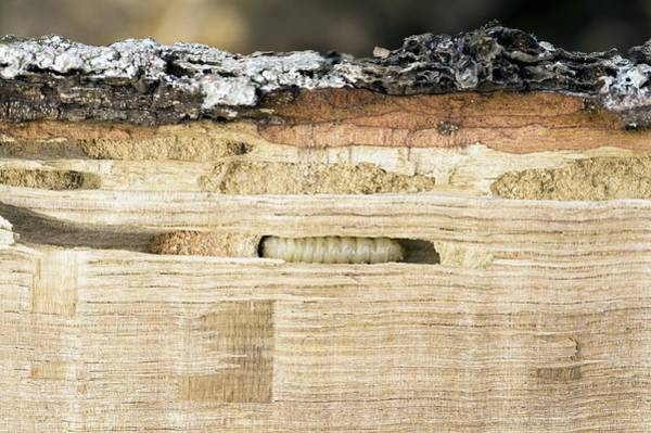 Bore Hole Wall Art - Photograph - Wood-boring Insect Larva by Jeremy Walker