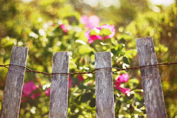 Fence Photograph - Wooden Fence Against Rosa Rugosa by Lucy Loomis, Photographer