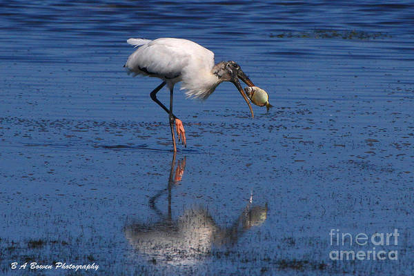 Photograph - Woodstork Catches Fish by Barbara Bowen