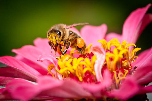 Photograph - Worker Bee by Keith Allen