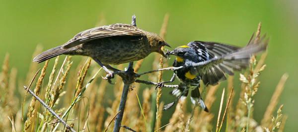Yellow-rumped Warbler Photograph - Wy-7-12-grand Teton Np-cowbird And Warbler1 by Diana Douglass