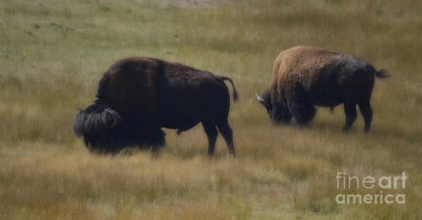 Photograph - Wyoming Buffalo by Donna Greene