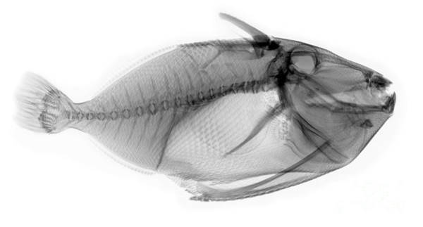 Photograph - X-ray Of A Clown Triggerfish by Ted Kinsman