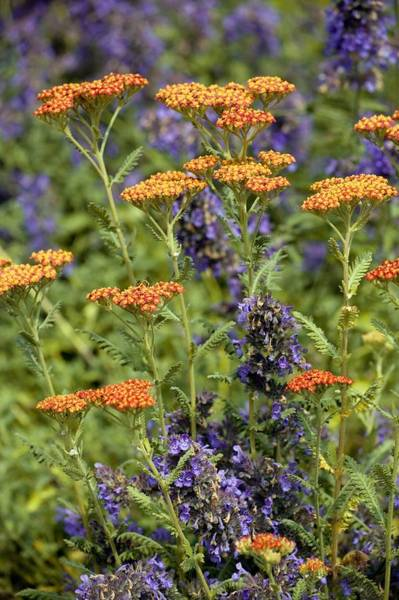 Complementary Colours Photograph - Yarrow And Catmint Flowers by Bob Gibbons
