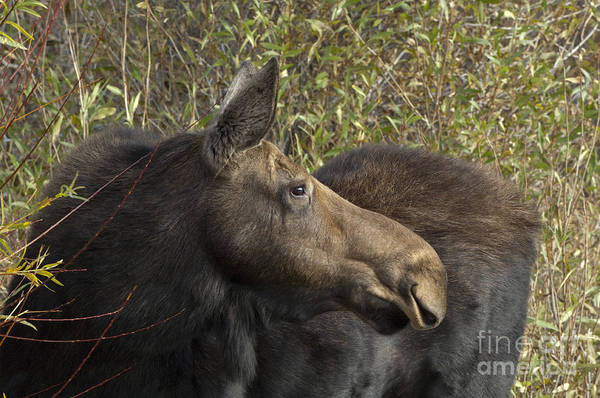 Moose Art Photograph - Yearling Calf On Alert by Sandra Bronstein