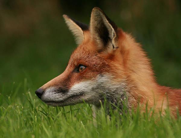 Yearling Fox Art Print