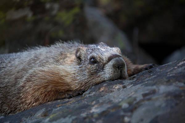 Marmot Photograph - Yellow Bellied Marmot  by Ralf Kaiser