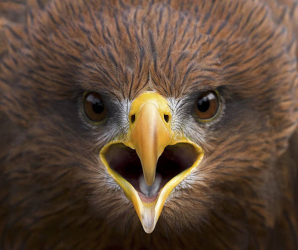 Squawk Photograph - Yellow-billed Kite by Linda Wright