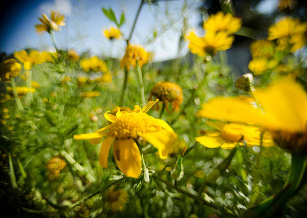 Photograph - Yellow Blooming Wildflowers by Michael Goyberg
