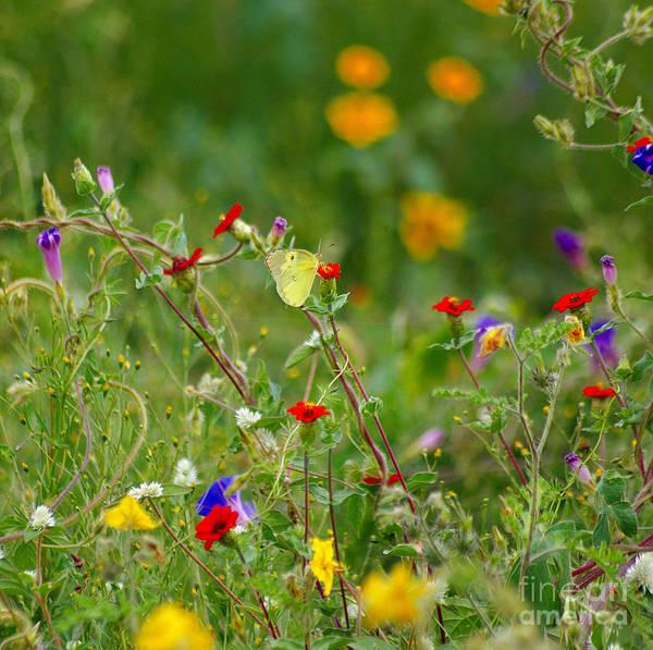 Photograph - Yellow Butterfly In Meadow by John  Kolenberg
