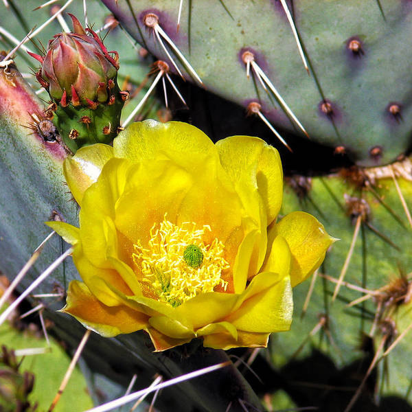 Yellow Cactus Flower Art Print