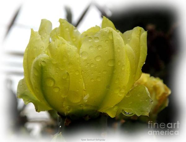 Photograph - Yellow Cactus Flower Watercolor Effect by Rose Santuci-Sofranko