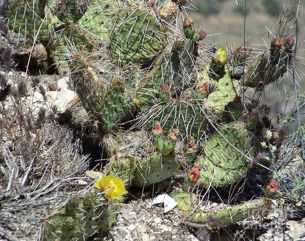 Photograph - Yellow Cactus On The Ledge by Charles Robinson