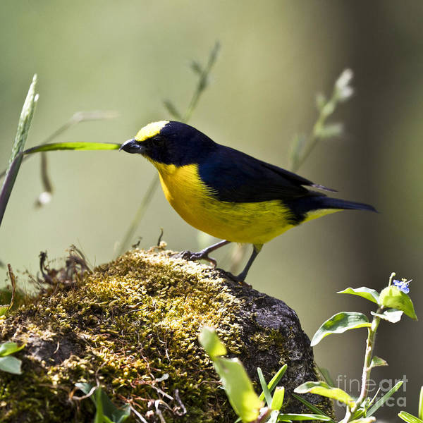 Photograph - Yellow-crowned Euphonia by Heiko Koehrer-Wagner