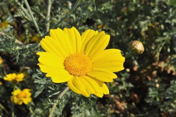Photograph - Yellow Daisy by Bridgette Gomes