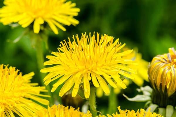 Photograph - Yellow Dandelions by Michael Goyberg