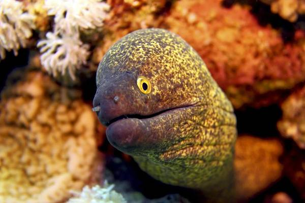 Wall Art - Photograph - Yellow-edged Moray by Dimitris Neroulias