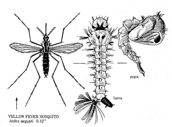 Photograph - Yellow Fever Mosquito by Granger