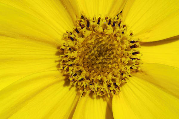 Photograph - Yellow Flower Detail by Matthias Hauser