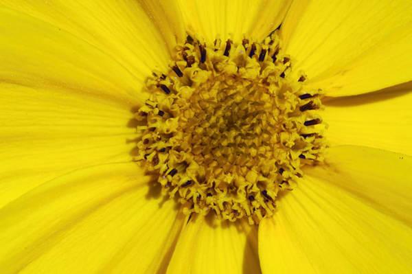 Photograph - Yellow Flower Detail by Matthias Hauser