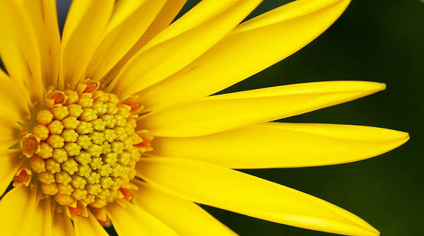 Photograph - Yellow Flower by Rick Hartigan