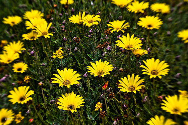 Photograph - Yellow Flowers Of The Field Of Green Grass by Michael Goyberg