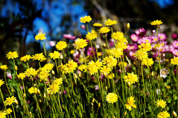 Photograph - Yellow Flowers by Yew Kwang